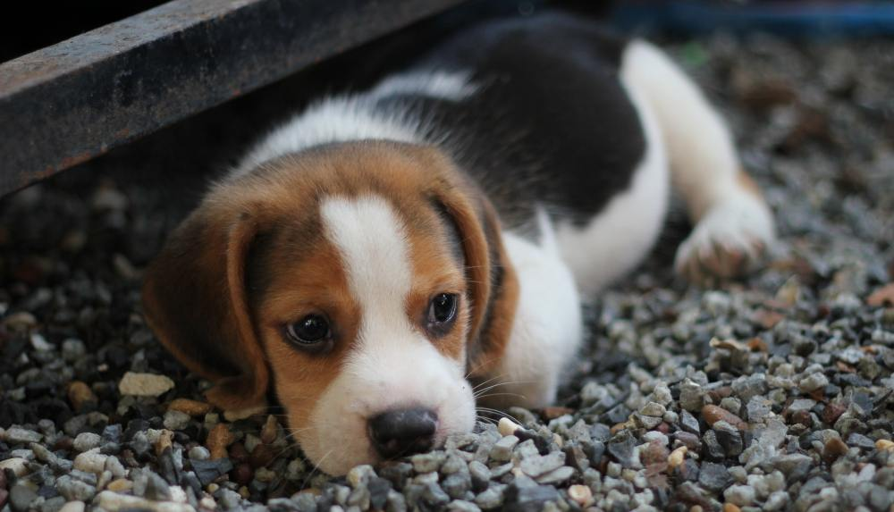 animal-beagle-canine-460823
